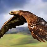 aguila-volando-6